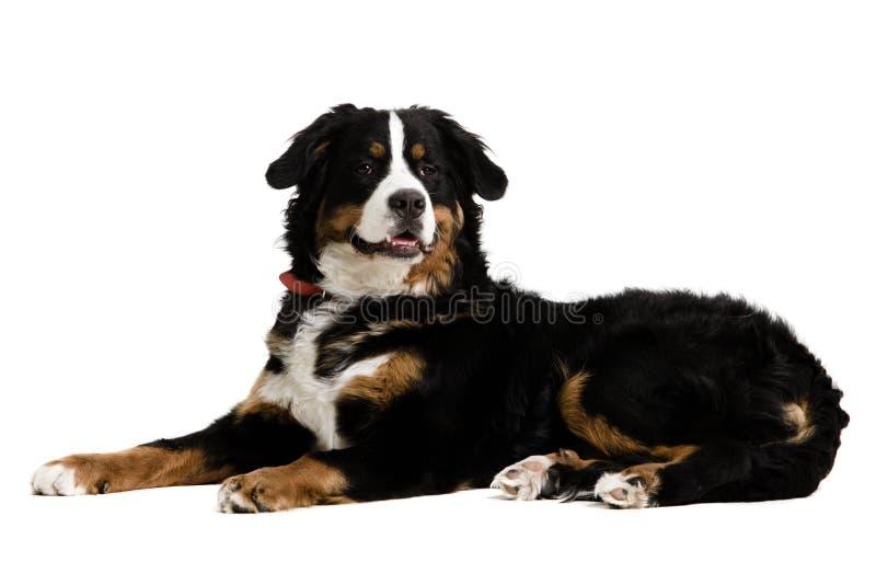 躺下的狗 免版税库存照片