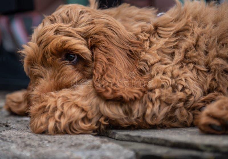 躺下红色Cockapoo的小狗 库存照片