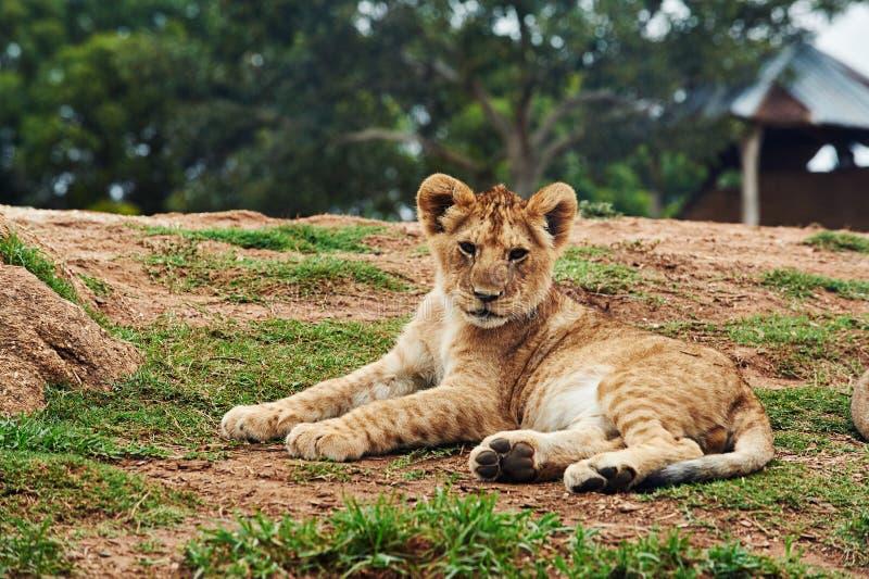 躺在地上的幼狮 免版税库存照片