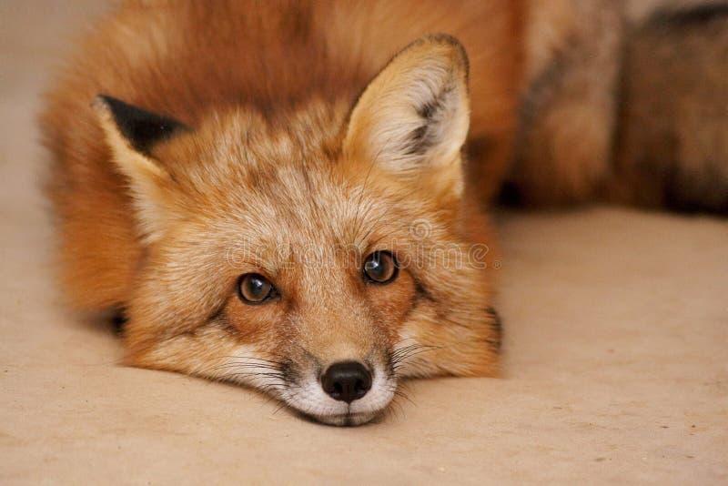 躺在地上的狐狸 库存图片