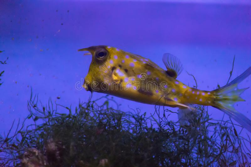车体有角的普通的拉特 最有趣的鱼的Lactoria cornuta居住在温水的一和平中和 免版税库存照片