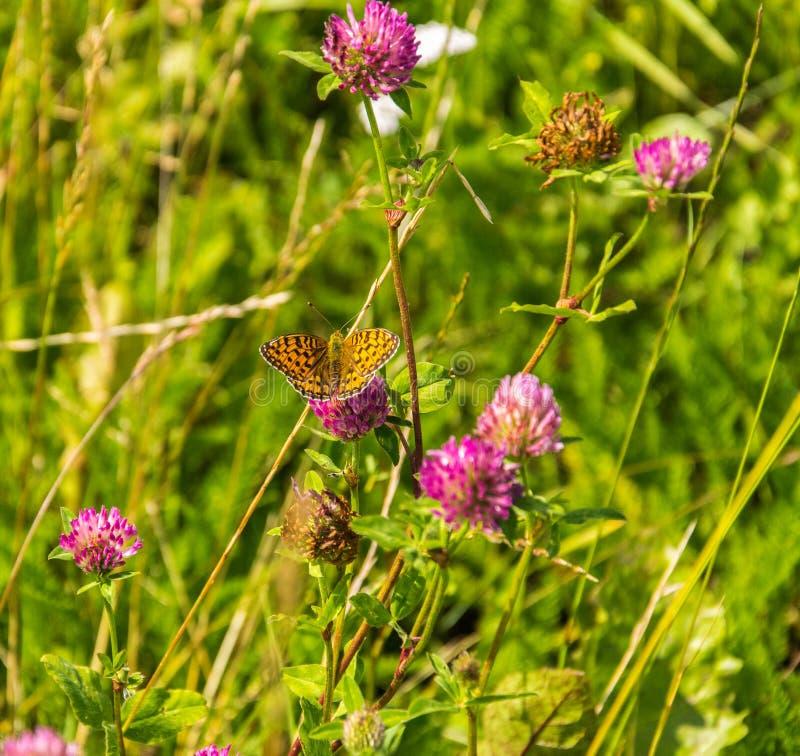 车轴草pratense -与高布朗贝母蝴蝶的红三叶草- Argynnis adippe 库存照片