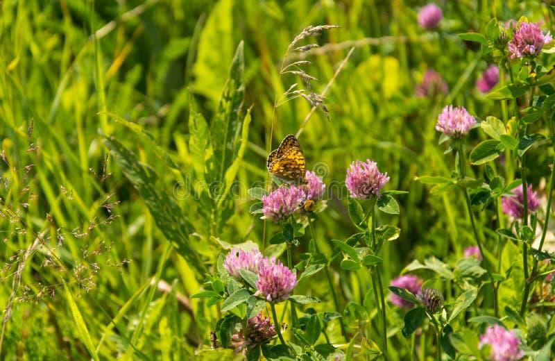 车轴草pratense -与高布朗贝母蝴蝶的红三叶草- Argynnis adippe 库存图片