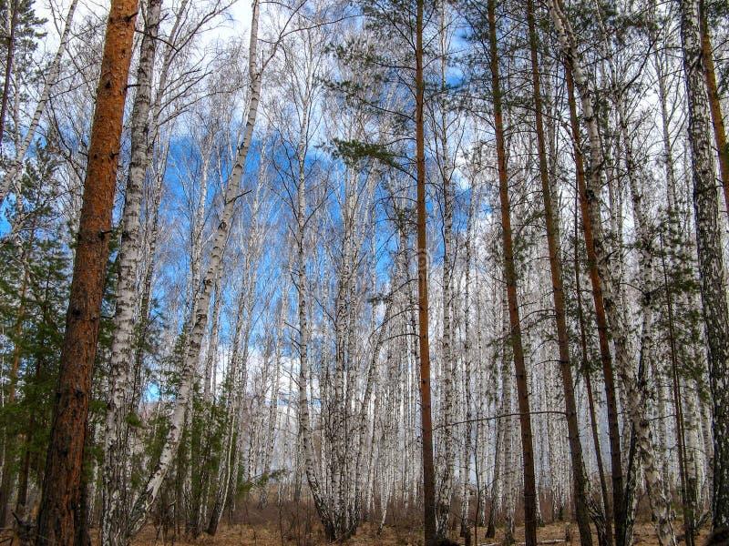 车里雅宾斯克,俄罗斯密林4月2019年,三角叶杨白扬树 库存照片