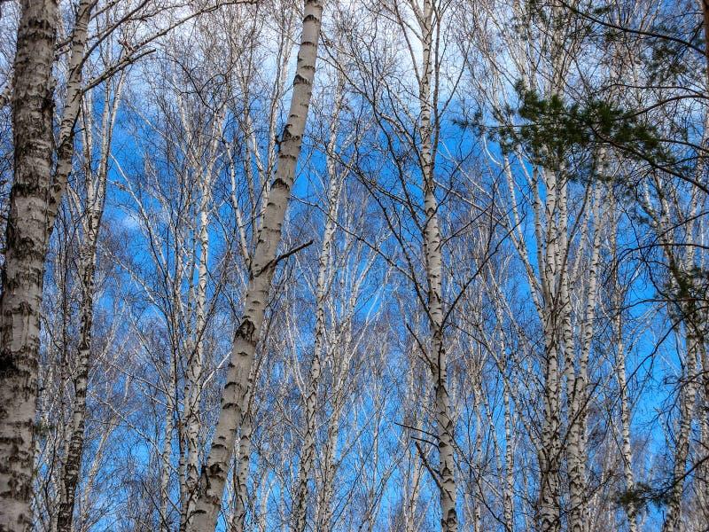 车里雅宾斯克,俄罗斯密林4月2019年,三角叶杨白扬树 免版税图库摄影
