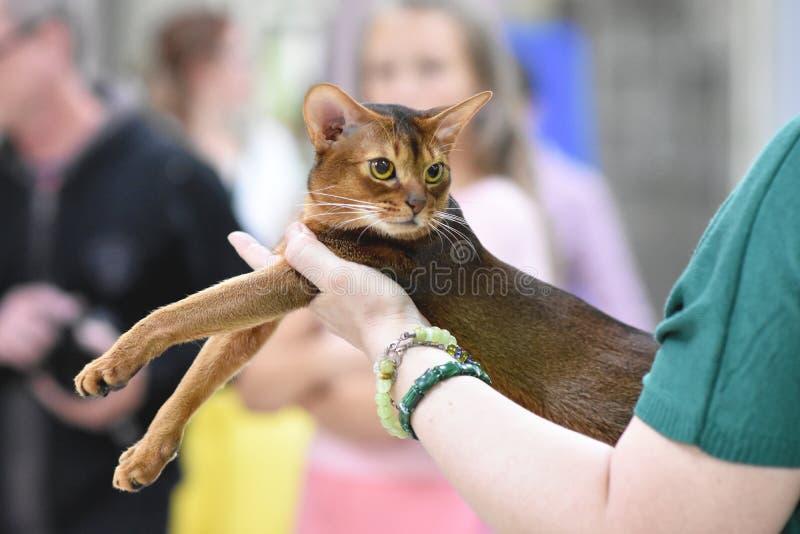 车里雅宾斯克,俄罗斯联邦- 2018年9月08日 埃塞俄比亚猫经典狂放的颜色猫的陈列 库存照片