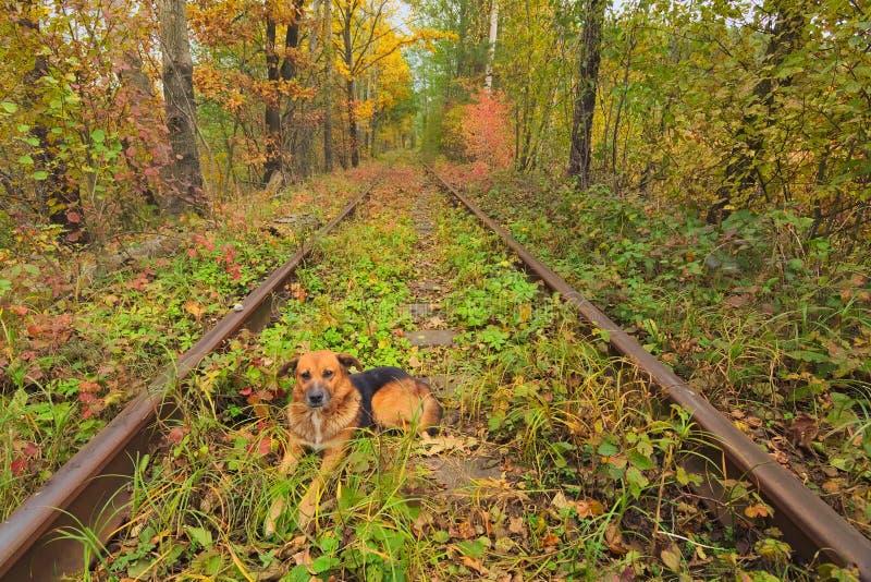 轨道的狗基于 在爱秋天森林著名隧道的一条铁路由树形成了 Klevan, Rivnenska obl 乌克兰 免版税库存照片