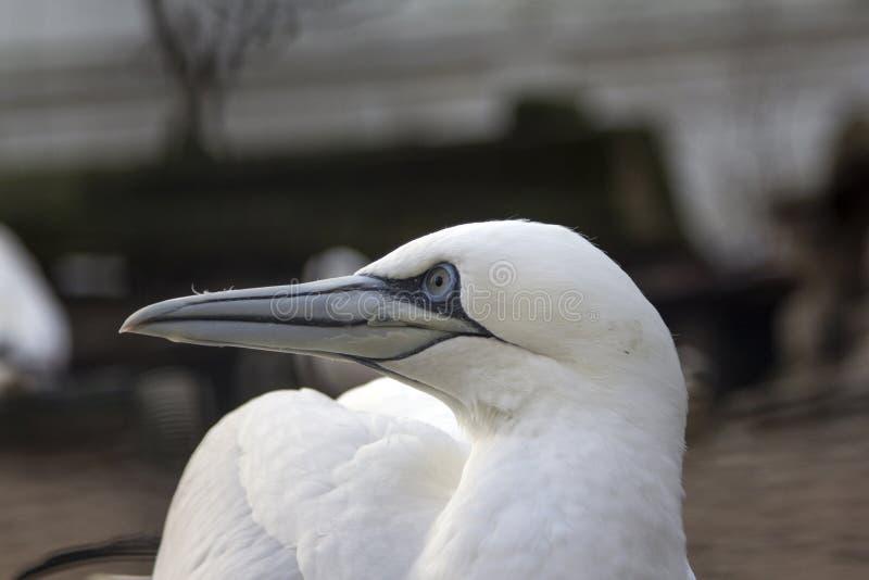 转动他的头和迷离的一北gannet的接近的画象 免版税库存照片