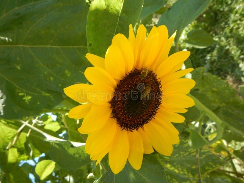 转向太阳的大黄色向日葵 免版税库存图片
