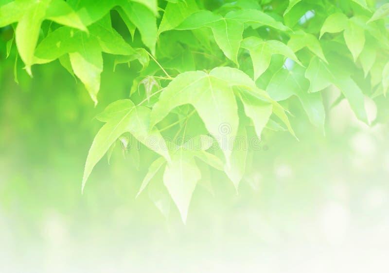 软性弄脏了绿色槭树叶子背景 库存照片