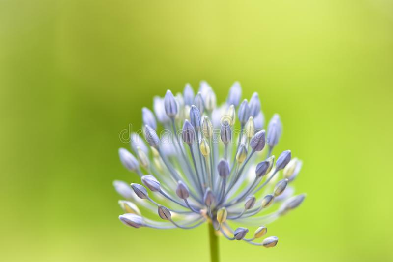 软性聚焦了美丽的花-葱属caeruleum蓝色地球葱或装饰葱,青这天堂,青开花了大蒜 库存照片