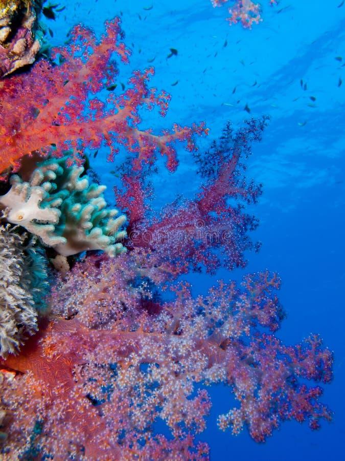 软珊瑚的红海 免版税库存图片