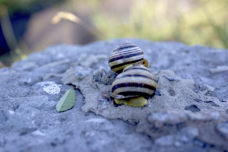 软疣生存有机体蜗牛 库存照片