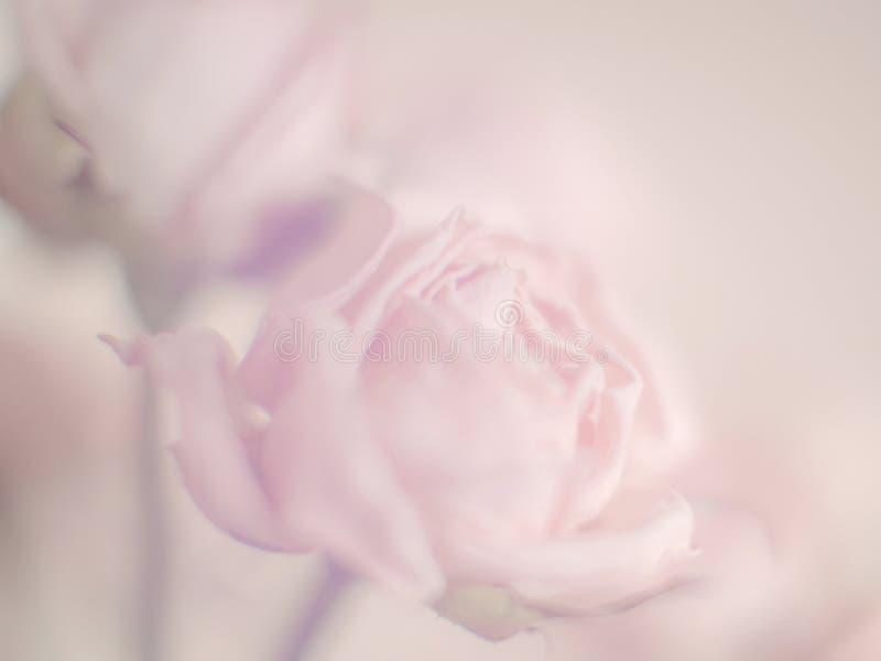 软的与玫瑰花瓣的花淡色背景为文本和问候blured 库存照片