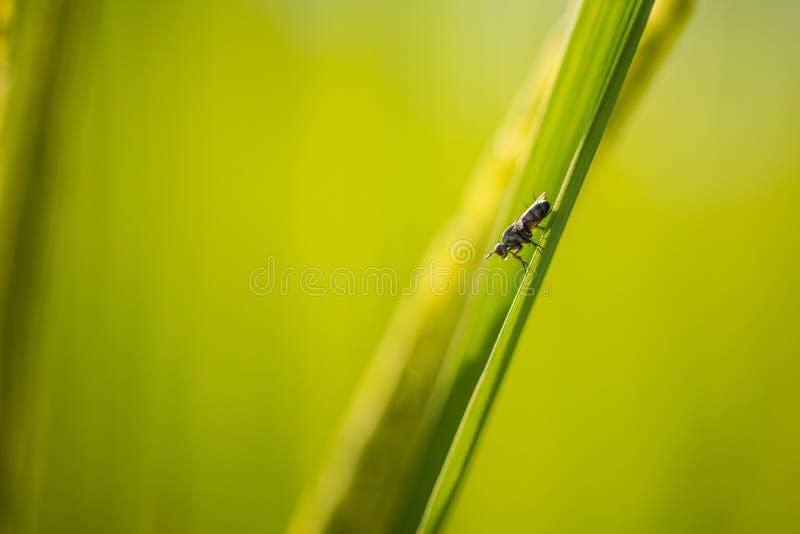 软的在迷离绿色米叶子背景的焦点小的昆虫 库存图片