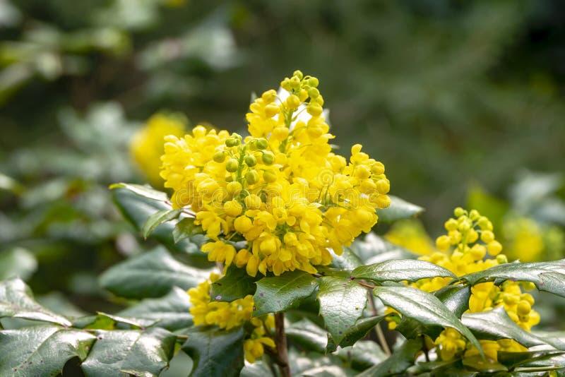 软的春天反对深绿的花十大功劳Aquifolium的焦点明亮的黄色颜色植物 免版税库存照片