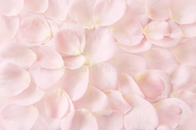 软的桃红色玫瑰花瓣背景 免版税库存照片