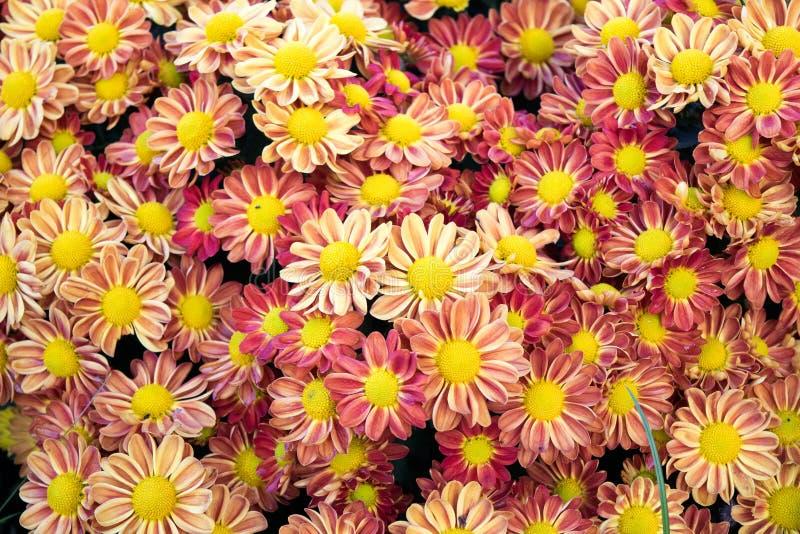 软的橙色菊花开花自然摘要背景 库存图片