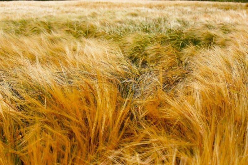 软的温暖的大麦庄稼纹理 免版税库存图片