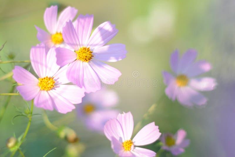 软的焦点春天和夏天背景 桃红色开花在早晨光的波斯菊绽放 波斯菊花的领域在阳光下 库存照片