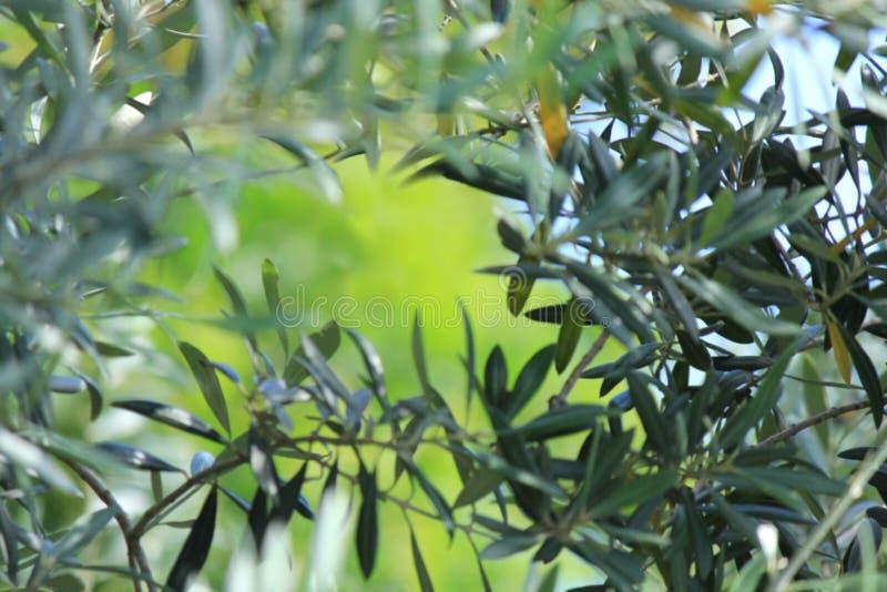 软的焦点橄榄树离开与绿色背景 库存图片
