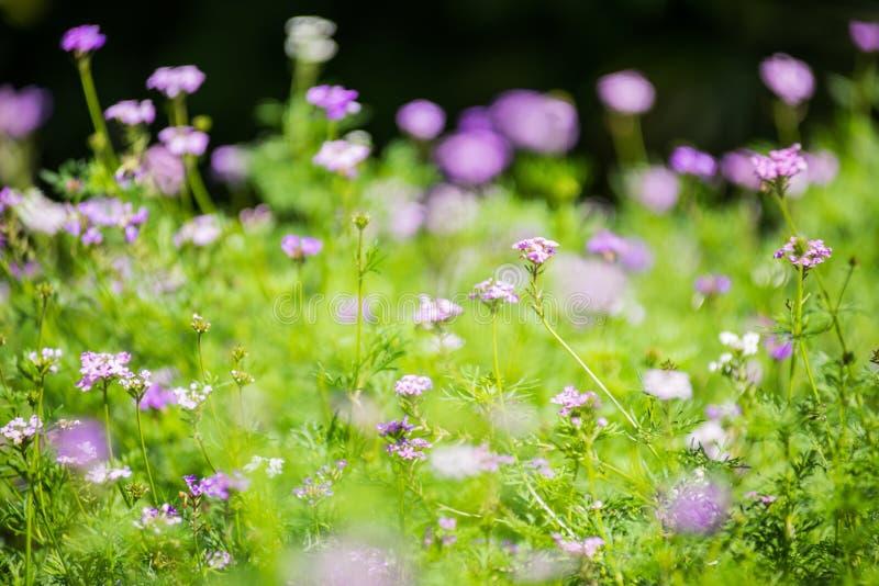 软的焦点自然桃红色花在庭院里 库存照片