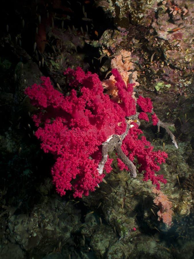软的珊瑚。 免版税图库摄影