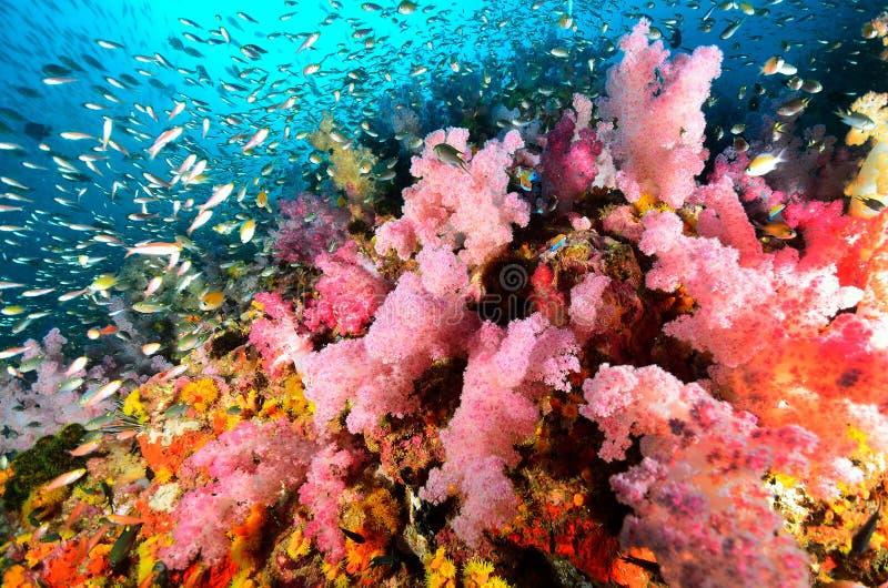 软的珊瑚殖民地, Similan海岛 库存图片