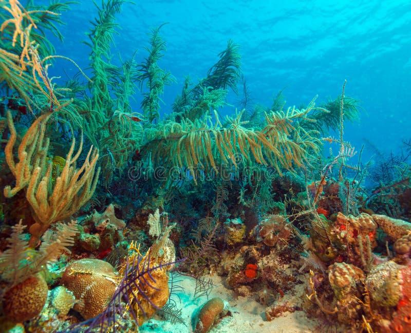 软的珊瑚临近Cayo缓慢地,古巴 免版税库存照片