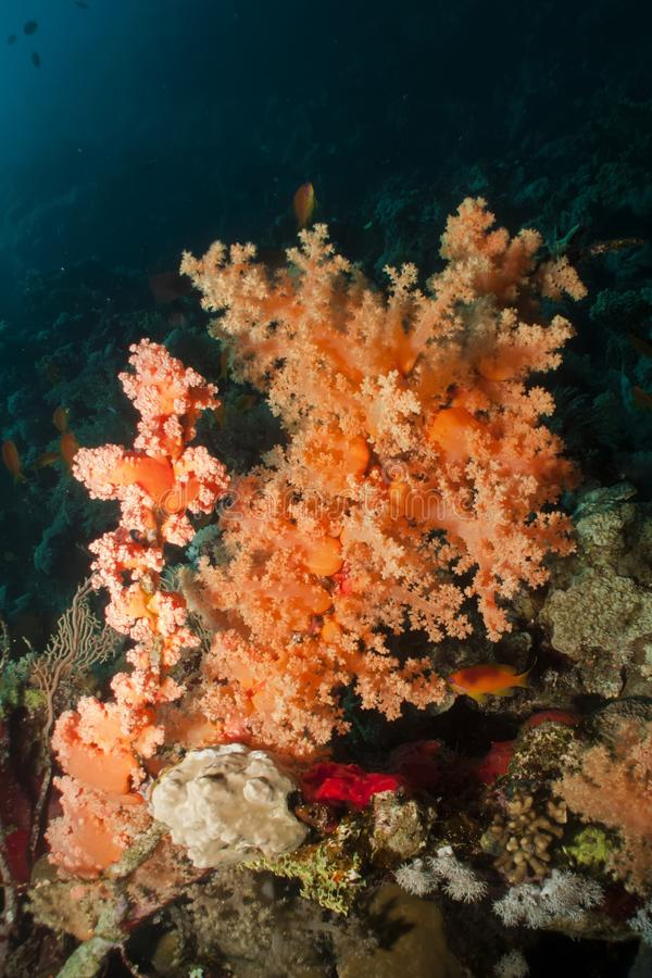 软的珊瑚 免版税库存图片