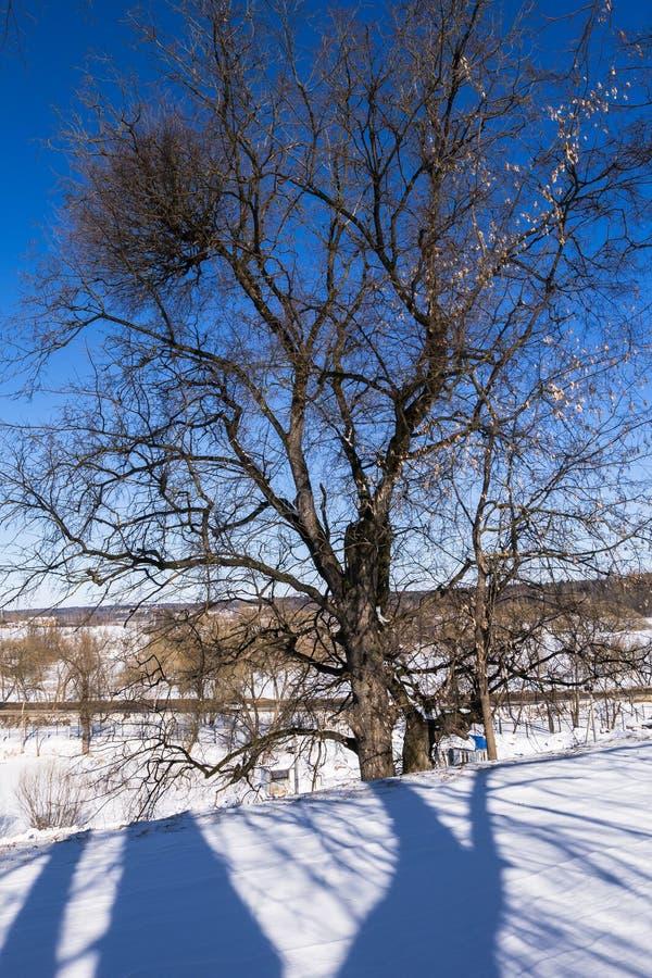软的蓝天和高多枝树在早晨阳光下 免版税库存照片