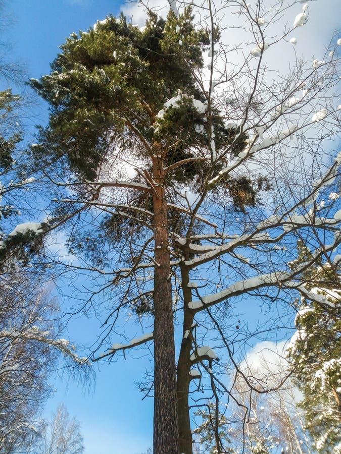 软的蓝天和高多枝树在欢乐雪穿戴在早晨阳光下 免版税库存图片