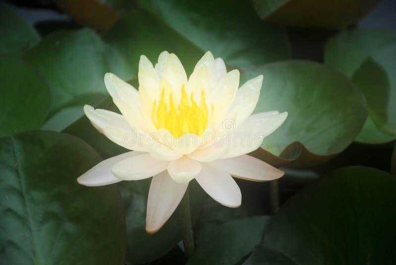 软的迷离黄色莲花在池塘 图库摄影
