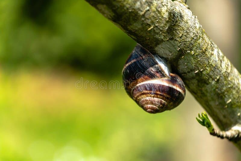 软的选择聚焦大美丽的葡萄蜗牛螺旋pomatia、罗马蜗牛、伯根地蜗牛、食用蜗牛或者escargot 免版税图库摄影