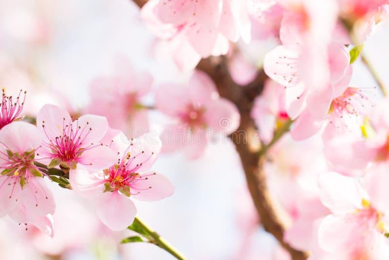 软的阳光在美好的桃红色花开花芽背景中 库存图片