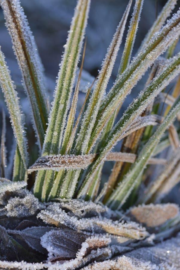 软的霜芦苇 库存照片