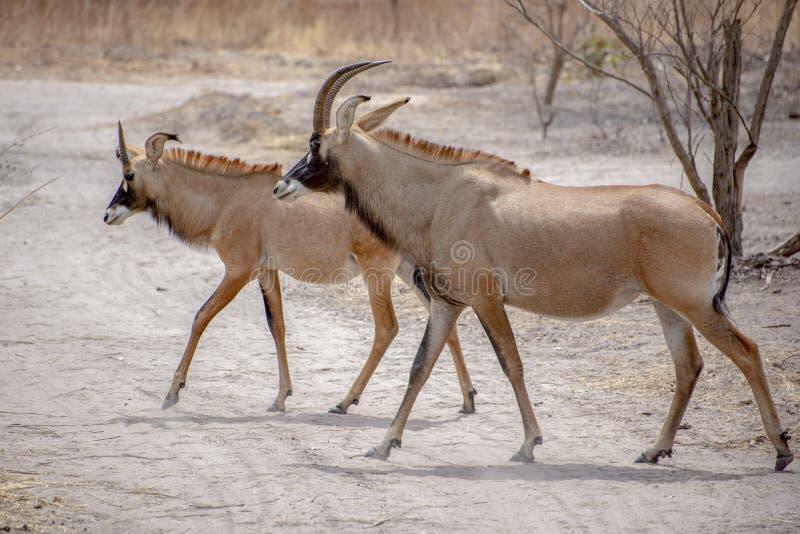 软羊皮的羚羊,弯角羚属equinus,在西部,中央找到的大草原羚羊,东部和非洲南部 antelop细节画象  图库摄影