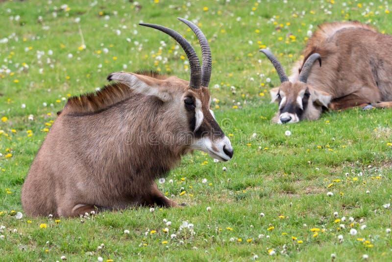 软羊皮的羚羊(;弯角羚属equinus); 羚羊、头有大耳朵的和鹿角细节画象  库存图片