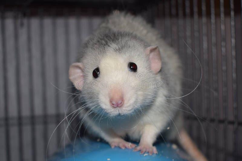 软羊皮的dumbo鼠 库存图片