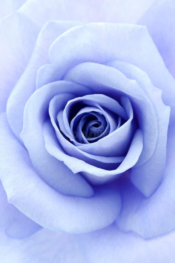 软蓝色的玫瑰 库存图片