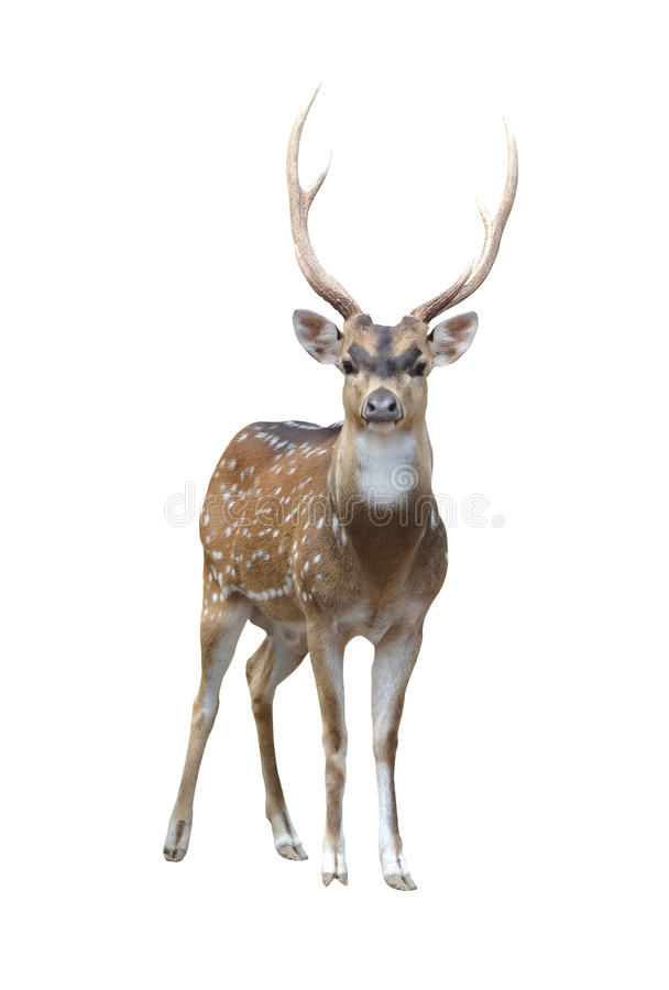 轴鹿男 库存照片