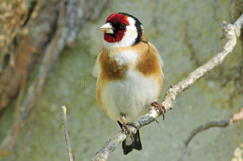 轻击棒,欧洲金翅雀, Carduelis carduelis 库存照片