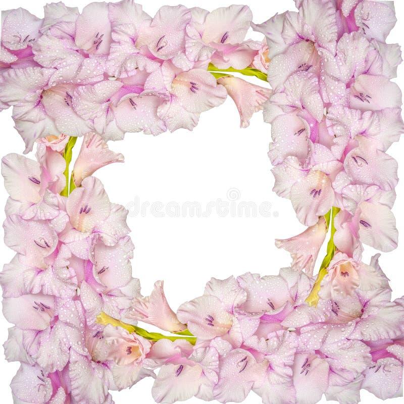 轻拍从桃红色剑兰花的花卉框架与小滴  库存例证