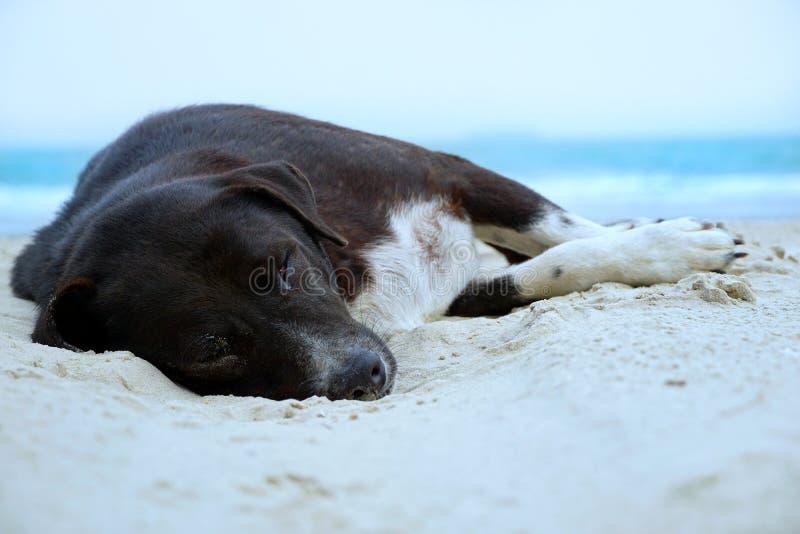 轻松的狗,睡觉在与海的沙滩的黑混杂的白色狗作为背景 库存图片