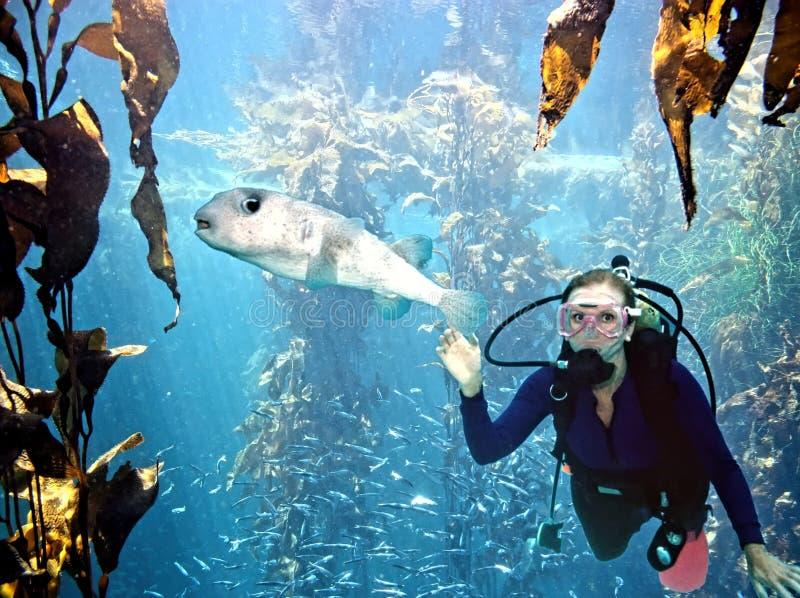 轻潜水员遇到刺顿鱼在离加利福尼亚海岸的附近 图库摄影