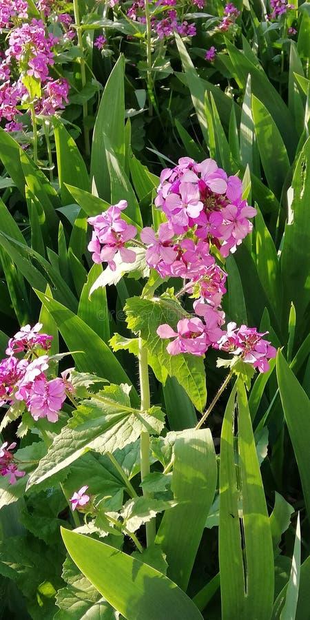 轻的柔和的夏天背景 桃红色和福禄考紫色花在鲜绿色的草背景的  库存照片
