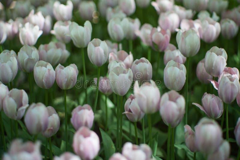 轻的淡紫色郁金香花特写镜头柔光 软和柔和的春天花自然本底 免版税库存图片