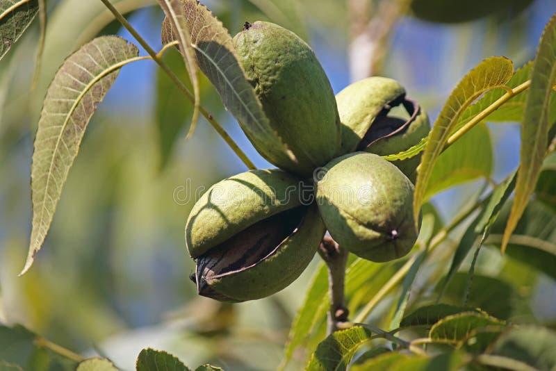 轻落在包含在树的一个绿色山核桃果果壳一枚坚果 免版税图库摄影