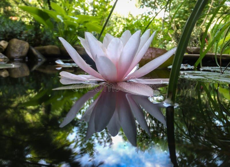 轻轻地桃红色美丽的荷花或莲花Marliacea Rosea在有大石头的老池塘 星莲属的瓣是被反射的alo 免版税库存图片