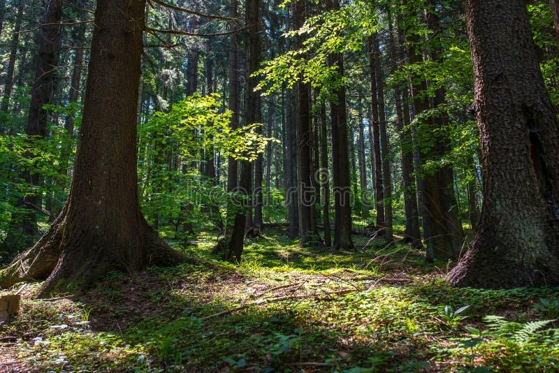 输入的早晨光在美丽的原封杉木森林里 库存照片